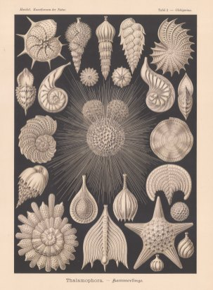 Foraminifera (Thalamophora): 20 specimens of the shells of the mollusc-like organisms. Key available.