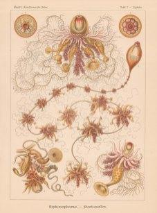 Hydrozoans:1. Epibulia Ritteriana 2 Cystalia monogastrica 3-6 Salacia polygastrica