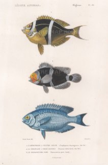 Anemonefish: Mauritian Anemonefish (Amphiprion chyrysogaster), Banded Clownfish (Premnas trifasciatus) and Saphire Damselfish (Pomacentrus pavo).