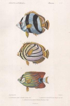 Butterflyfish: Banded Butterflyfish (Chetadon striatus), Scrawled Butterflyfish (Chaetodon meyer) and Blackburn's Butterflyfish (Chaetodon blackburni).