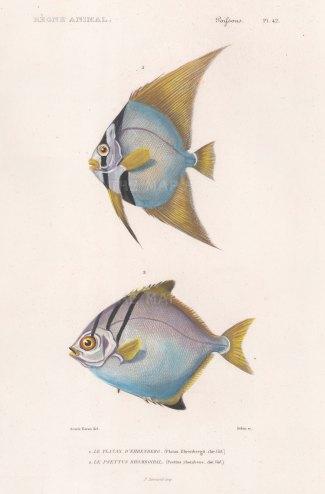 Batfish: Gorbicular Batfish (Platax ehrenbergii) and Silver Moonyfish (Psettus rhombeus).