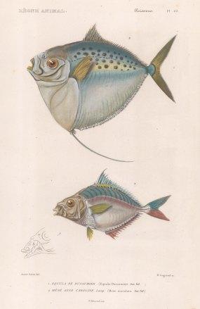 Moonfish (Mene maculata): With Horse Trevally (Equula dussumieri).