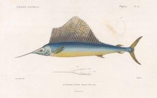 Sailfish: Atlantic Sailfish (Machoera velifera). With detail of bill.
