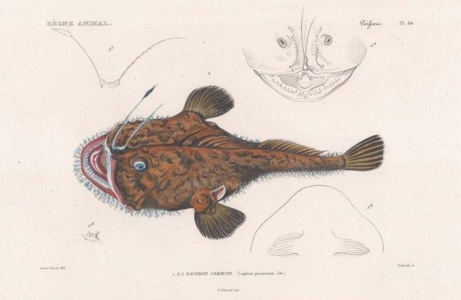 Angler: European monkfish (Lophius piscatorius).