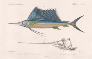 Sailfish: Indo Pacific Sailfish (Histiophorus indicus) with details of bill and skull.