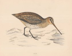 "Morris: Snipe. 1869. An original hand coloured antique lithograph. 11"" x 10"". [FIELDp1591]"