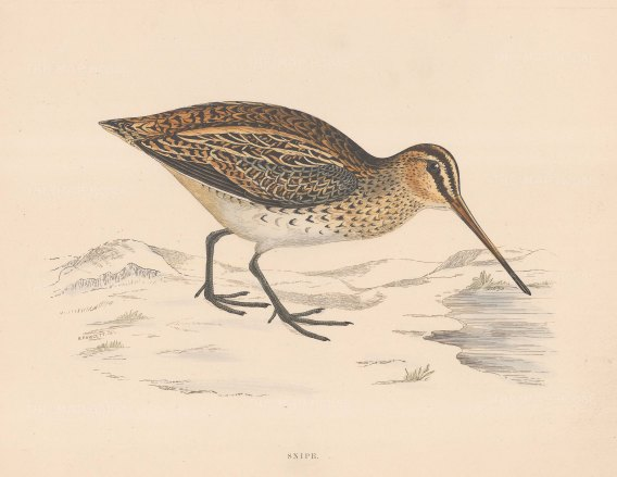 "Morris: Snipe. 1869. An original hand coloured antique lithograph. 11"" x 10"". [FIELDp1591]"