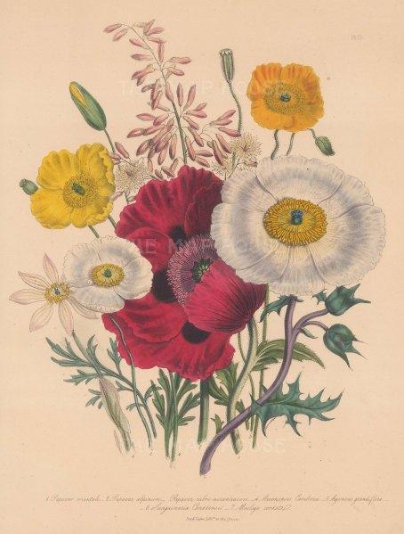 Poppy: 1 Oriental 2 Alpine 3 Orange Red 4 Common Welsh 5 Large-flowered Prickly 6 Canadian Blood root 7 Cordate-leaved Macleaya