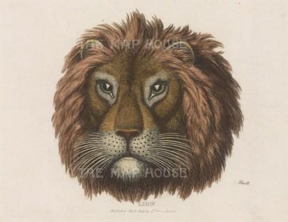 "Howitt: Lion. 1809. A hand coloured original antique steel engraving. 9"" x 7"". [NATHISp5990]"