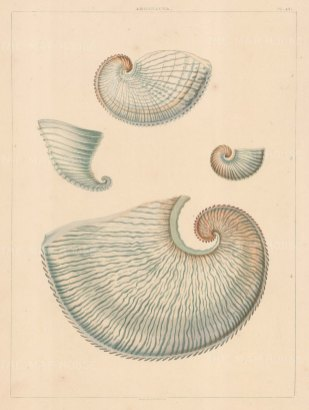 Univalves: Genus Argonauta: 1. Argonauta Vitrea, 2. A. Rotunda, 3. A. Striata, 4. A. Grandiformis.