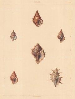 Univalves: Genus Biplex: 1. Biplex Corrugata, 2. B. Variegata, 3. B. Elegans, 4. B. Rana, 5. B. Rubicola, 6. B. Spinosa.