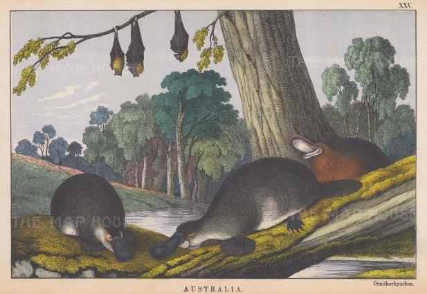 "Edmonston: Platypus. 1862. An original antique chromolithograph. 10"" x 7"". [NATHISp7237]"