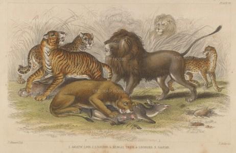 Asiatic Lion and Lioness, Bengal Tiger, Leopard and Jaguar.