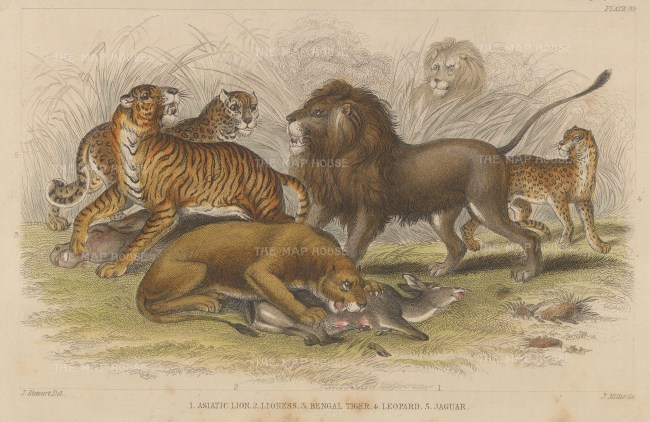 Asiatic Lion and Lioness, Bengal Tiger, Leopard and Jaguar.