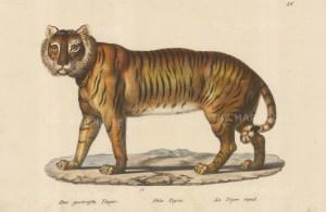 Felis Tigris. Framed.