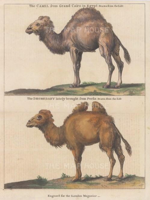 Egyptian Dromedary and Persian Bactrian Camel.