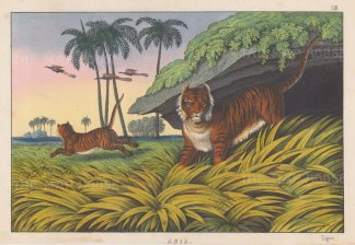 "Edmonston & Douglas: Tigers. 1860. An original antique chromolithograph. 10"" x 7"".[NATHISp7999]"