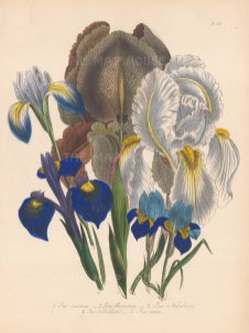 Iris: 1. Chalcedonian 2. Florentine 3. Nepal 4. Three toothed 5. Spring.