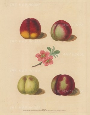 Peaches: Four Varieties with Blossom: