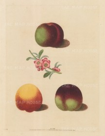 Peaches: Three varieties with Blossom.