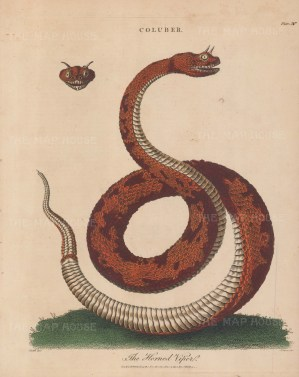 Viper (Coluber): Horned Viper of Egypt (Cerestes). After John Ellis. Engraved by John Pass.