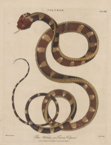 Viper (Coluber): Fierce Viper (Atrox). After Albertus Seba. Engraved by John Pass.