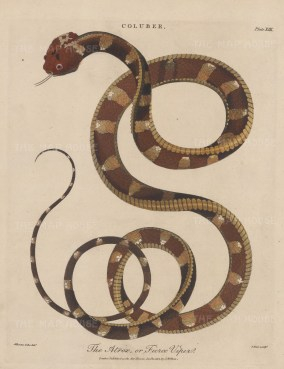 Viper (Coluber): Fierce Viper (Atrox). After Albertus Seba. Engraved by John Pass.