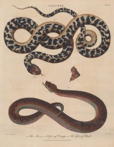 Viper (Coluber): Viper of Europe (Berus) and Viper of Rhedi. After Albertus Seba. Engraved by John Pass.