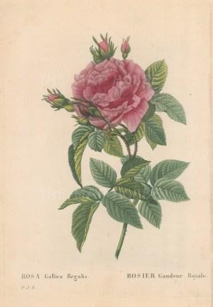 Royal Rose. Rosa Gallica Regalis.