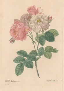 Damask Rose. Rosa Damascena.