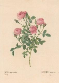 Pomponia Rose. Rosa pomponia.