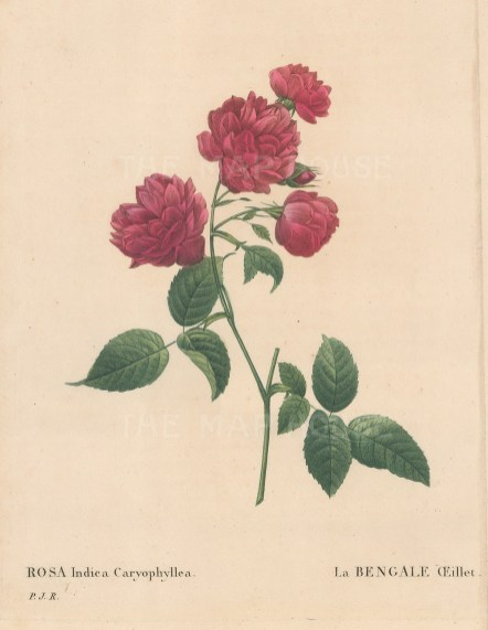 Bengal Carnation Rose. Rosa Indica Caryophyllea.