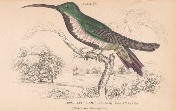 Trochilus Gramineus, Black breasted Hummingbird native to St Domingo.