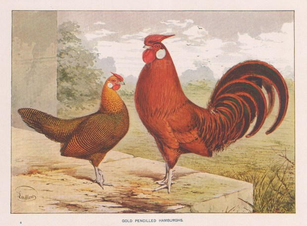 Gold Pencilled Hamburghs. Cock and Hen.