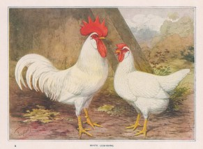White Leghorns. Cock and Hen.