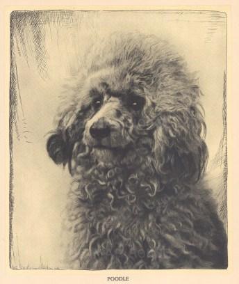 "Nicholson: Poodle. 1934. An original black & white vintage photo-lithograph. 7"" x 9"". [NATHISp7088]"