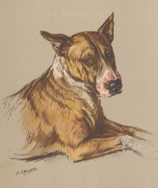 """Barker: Bull Terrier. 1938. An original vintage chromolithograph. 8"""" x 11"""". [NATHISp7181]"""