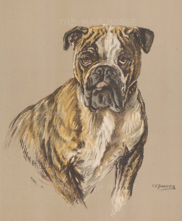 "Barker: English Bulldog. 1938. An original vintage chromolithograph. 8"" x 11"". [NATHISp7185]"