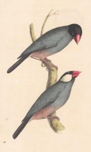 Java Sparrow. Fringilla oryzivora.