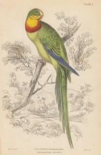 """Jardine: Barraband ringed Parakeet. 1836. An original hand coloured antique steel engraving. 4"""" x 6"""". [NATHISp7375]"""