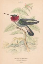 Trochilus Tricolour
