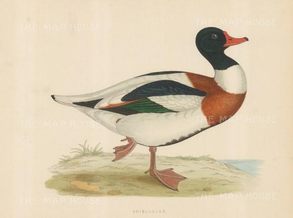 "Morris: Shieldrake. 1869. An original hand coloured antique lithograph. 11"" x 10"". [NATHISp7547]"