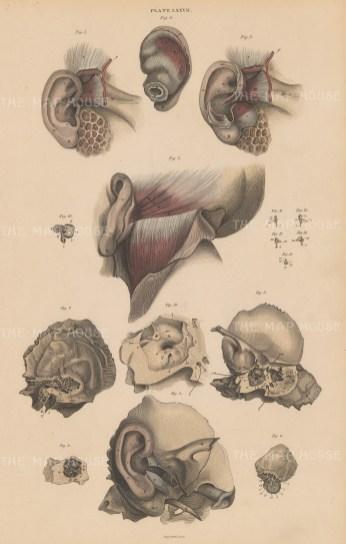"Lizars: Ear. 1840. An original hand coloured antique mixed method engraving. 10"" x 17"". [NATHISp7594]"