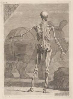 PAIR. Skeleton and fourth order of muscles by Jan Wandelaar. Posterior view with Clara, the Indian Rhinoceros who became a celebrity throughout Europe.