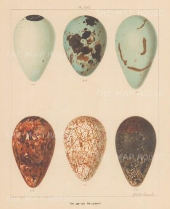 Guillemots. Six types.