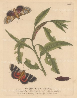 Caterpillars: Red Underwing on a Willow with chrysalis and moths. Dedicated to the Duchess of Newcastle.
