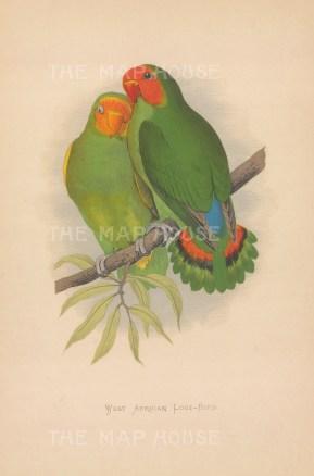 """Greene: West African Love Birds. 1884. An original antique chromolithograph. 6"""" x 8"""". [NATHISp7732]"""