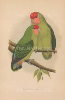 "Greene: Rosy faced Love Birds. 1884. An original antique chromolithograph. 6"" x 8"". [NATHISp7733]"
