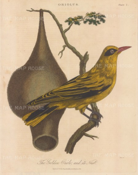 Golden Oriole with nest. Engraved by John Pass.