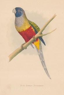 """Greene: Blue Bonnet parakeet. 1887. An original antique chromolithograph. 6"""" x 9"""". [NATHISp7893]"""